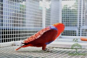 New Guinea Eclectus Hen