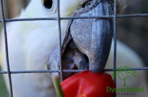 Charlie eating some home grown chilli