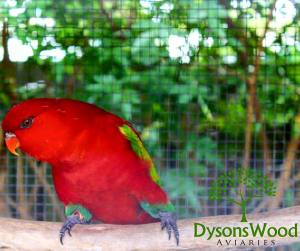 Chattering Lory Cock 01/2016
