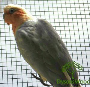 Peach Galah/Short Billed Corella Hybrid