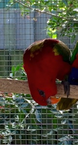 'Pocket' Chattering Lory Hen