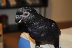 Black Lory Cock 'Magic'