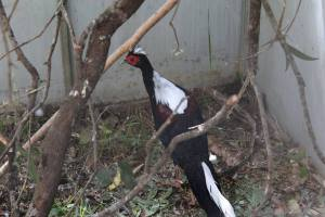 Swinhoe's Pheasant Cock His first inspection of their temporary enclosure 03/2016