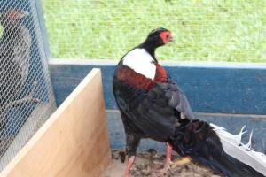 Swinhoe's Pheasant Cock 03/2016