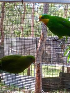 Superb Parrots Dysons Wood Aviaries
