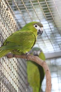 Hahn's Macaw Dysons Wood Aviaries