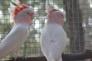 Major Mitchell's Cockatoo Dysons Wood Aviaries